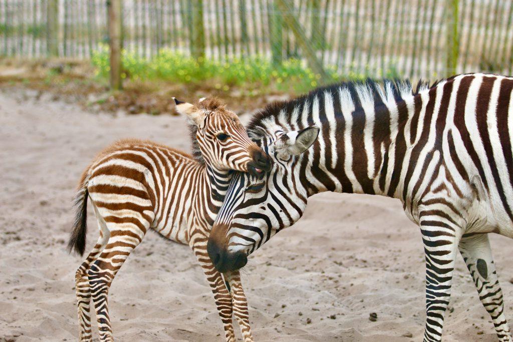 bebe-zebre-zoo-labenne-landes-atlantique-sud©zoo-labenne